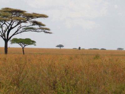 Acacia on the Serengeti