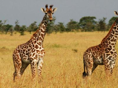 Tanzania Pair