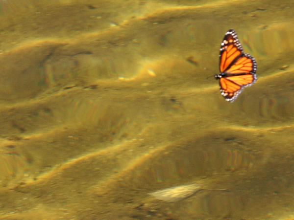 Floating Butterfly